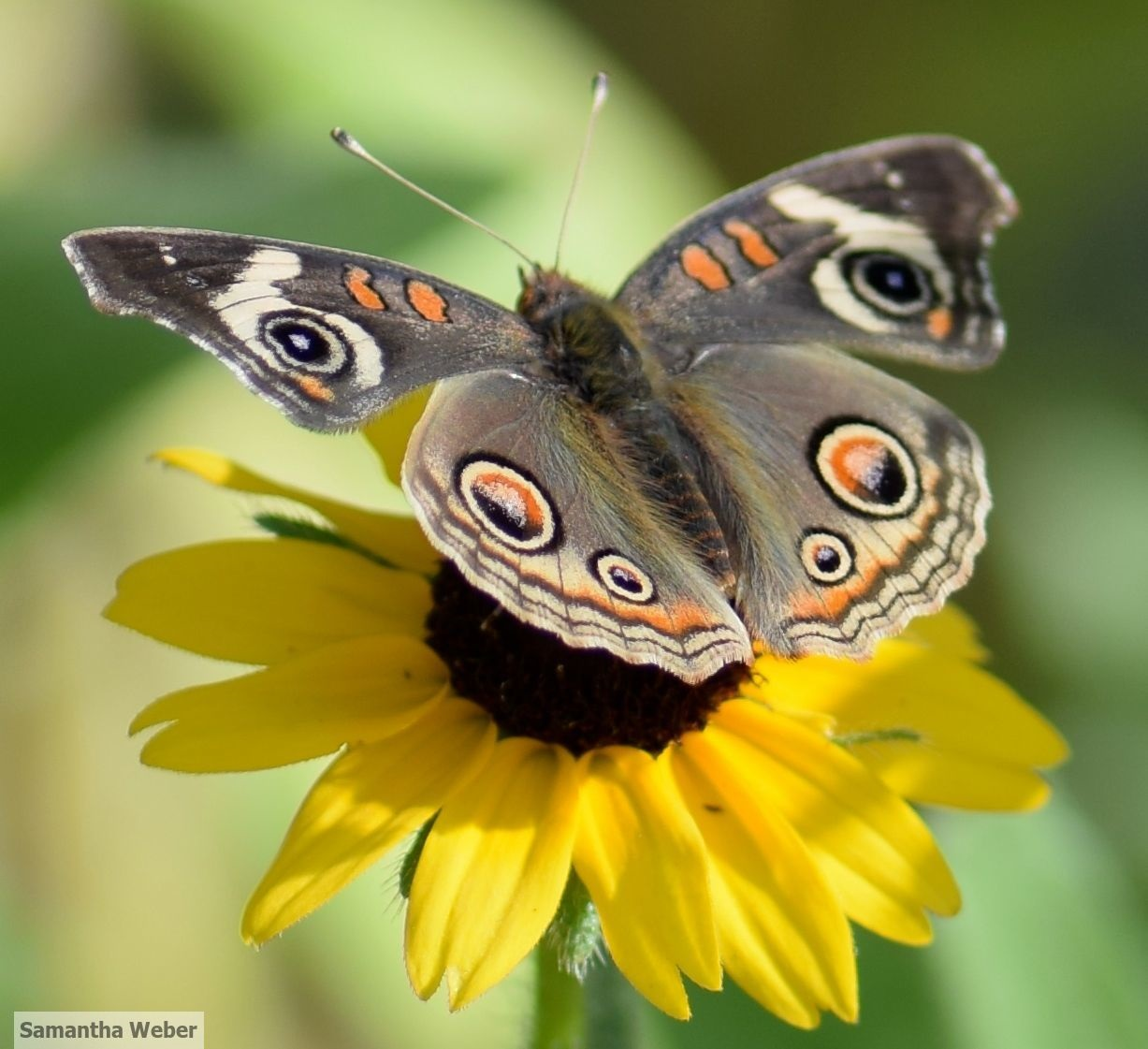 """California buckeye on flower from """"pollinator-attracting seed mix."""" Photograph by Samantha Weber"""
