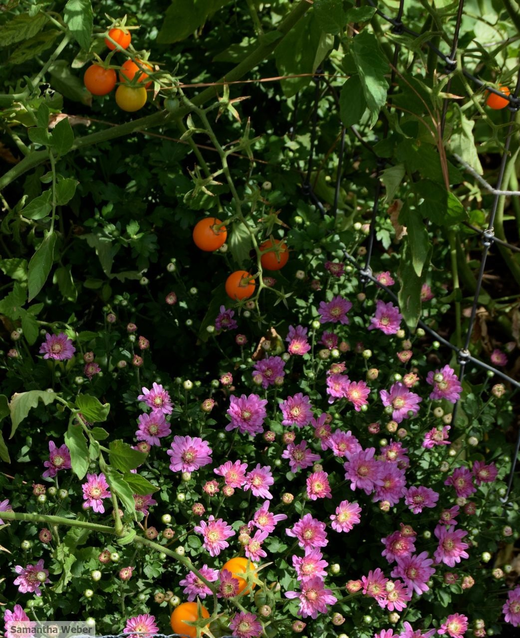 Cherry tomatoes and chrysanthemums in a merry mix. Photograph by Samantha Weber