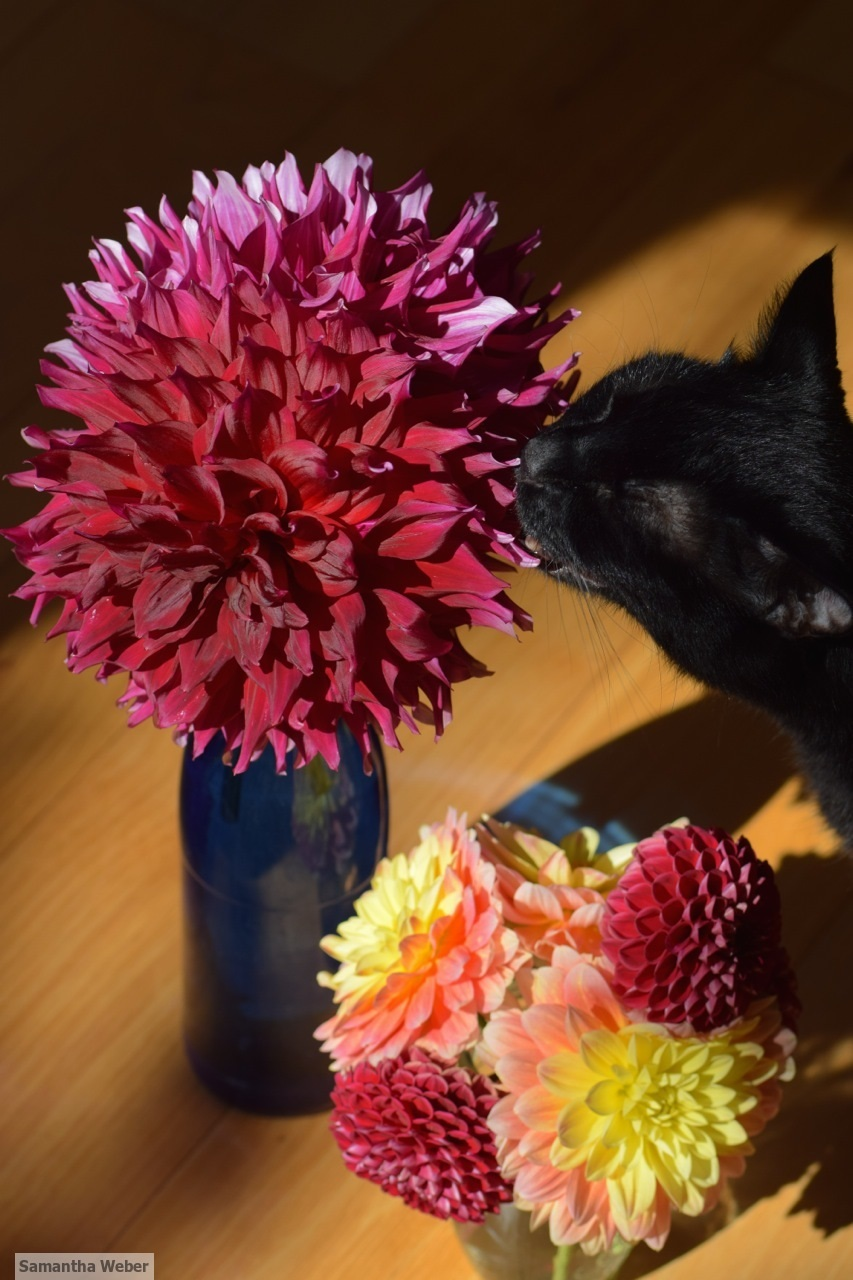 Kitty approves of the dahlias. Photograph by Samantha Weber