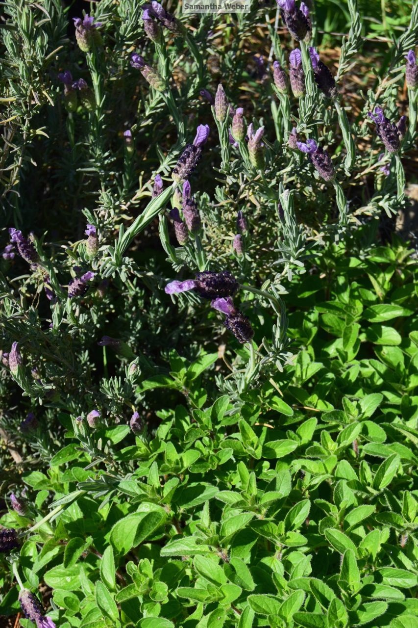 Lavender and oregano look happy together. Photograph by Samantha Weber