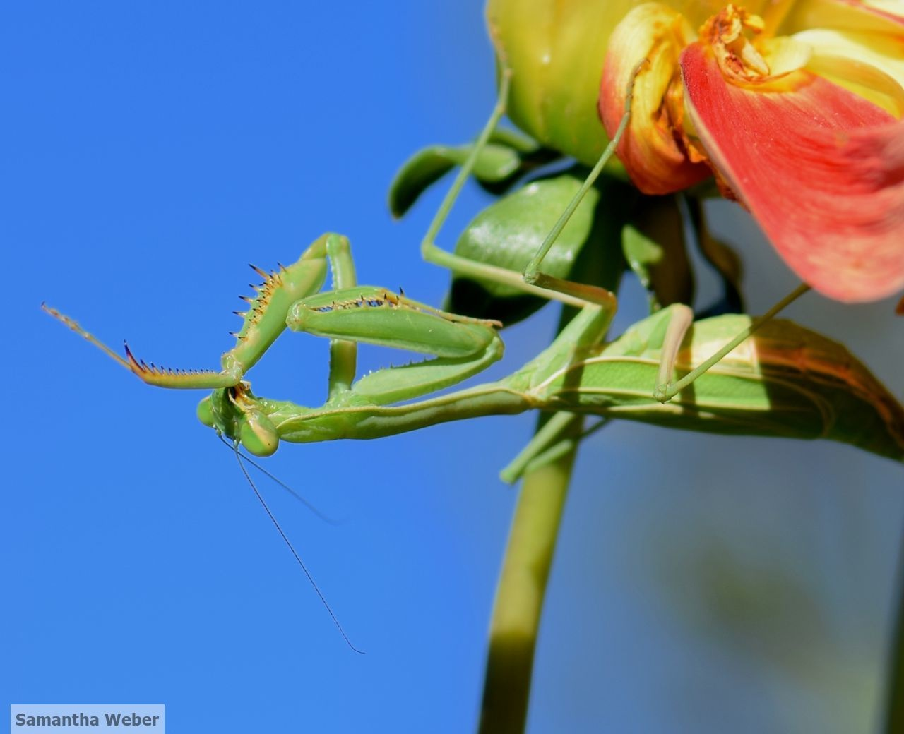 Mantid grooming while perched on a dahlia plant. Photograph by Samantha Weber 2015.