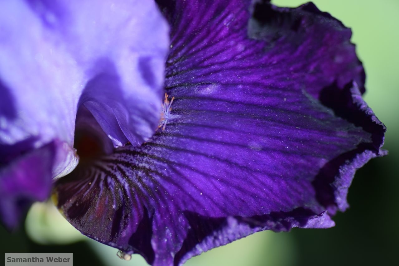 Bearded iris, a plant that requires no summer water. Photograph by Samantha Weber