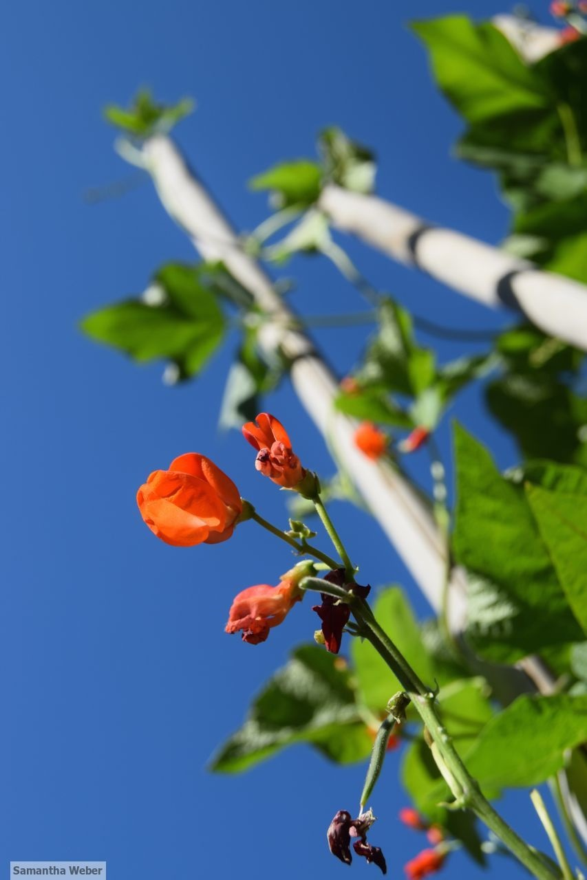 Scarlet runner bean flowers attract insects and hummingbirds and the beans are delicious - photo by Samantha Weber