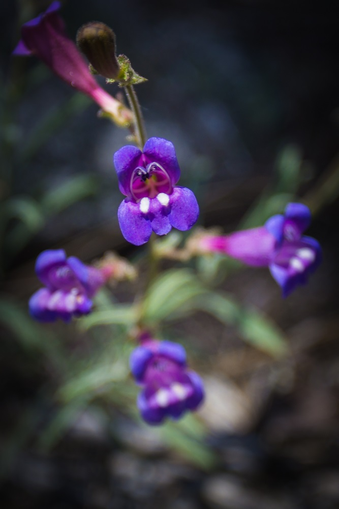 Redwoods 17 - Yosemite wildflower in hues of purple spied while on a nature walk booked through The Redwoods 2014 - photo by Virginia Lazar