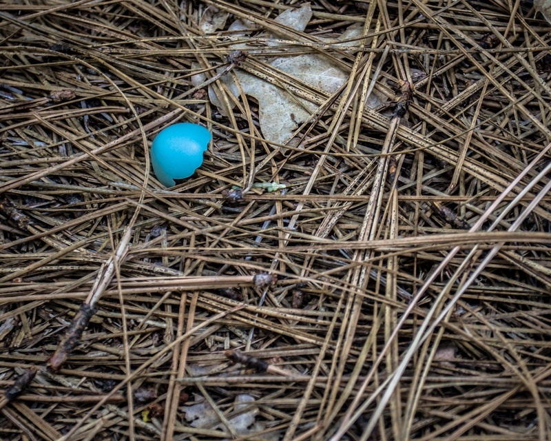Redwoods 7 - the perfect blue hue of a robins egg spied while on the Yosemite nature walk via The Redwoods 2014 - photo by Virginia Lazar