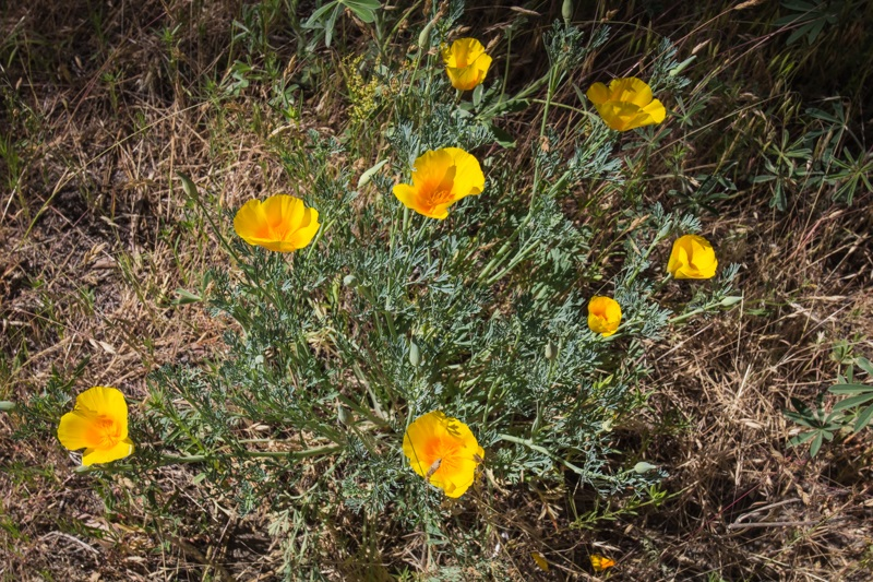 Redwoods 8 - poppies in bloom while on the Yosemite nature walk via The Redwoods 2014 - photo by Virginia Lazar