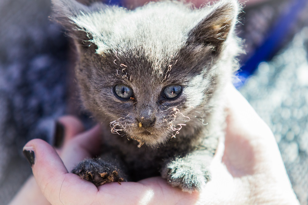 Courtney Fire - kitten saved by Fresno firefighters - photo by Virginia Lazary Sept. 16 2014