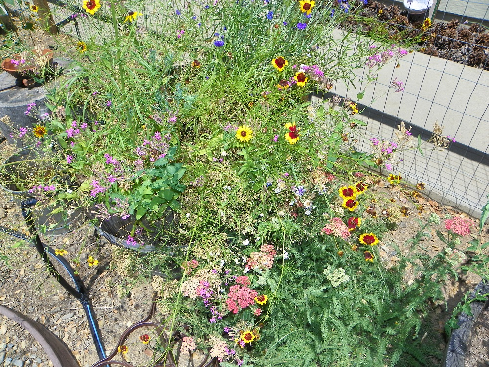 Kellies late summer garden 2013 3 - wild flowers from seed from True Value - Photo by Kellie Flanagan
