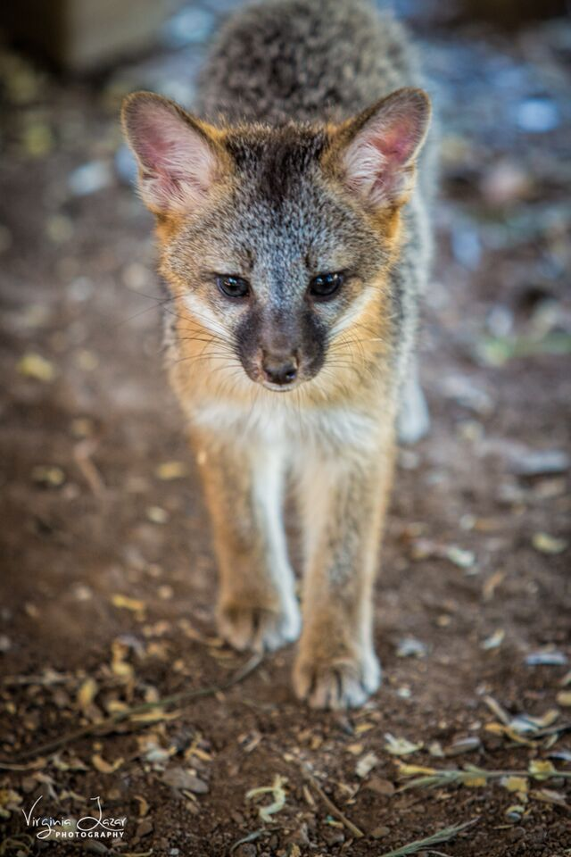Gray fox family at Fresno Wildlife Rescue and Rehabilitation Service courtesy of Virginia Lazar Photography