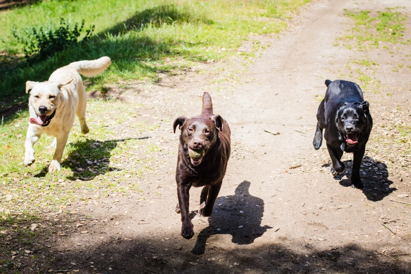 DADS L - R Bailey Tioga Jackie running with ball - photo by Virginia Lazar