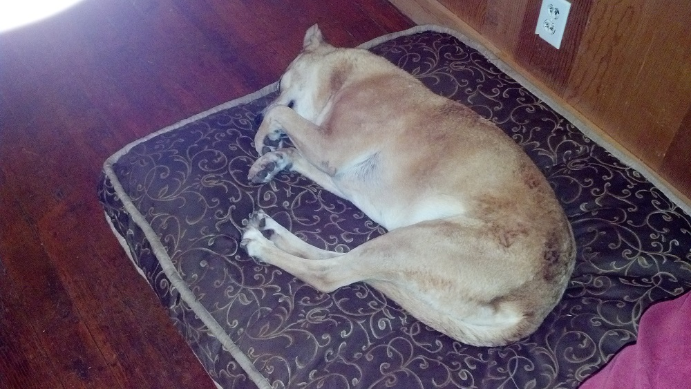Sadie sleeping on her fancy bed before she ran away - photo courtesy of Ashley Schweitzer Sproull