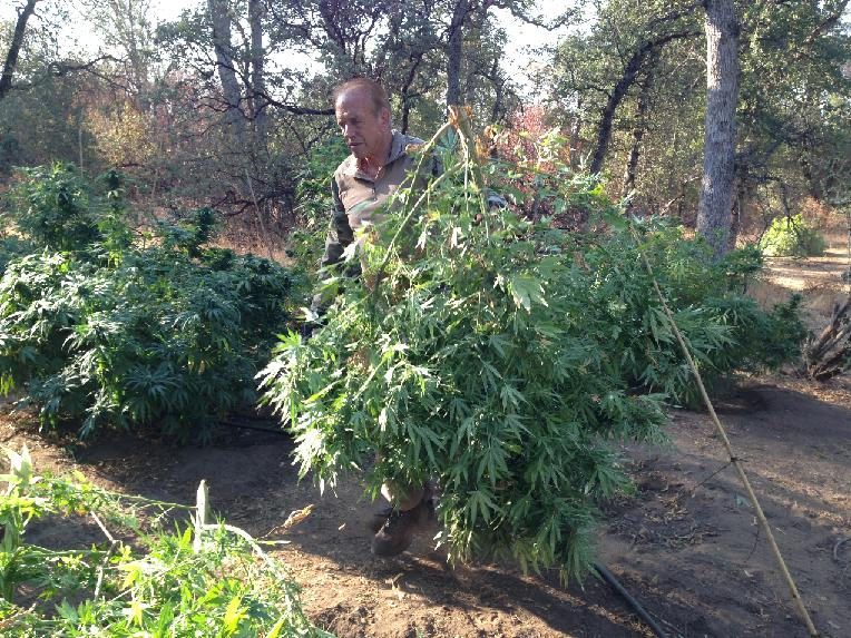Sheriff Anderson at Coarsegold Pot Bust - photo Madco Sheriffs Office