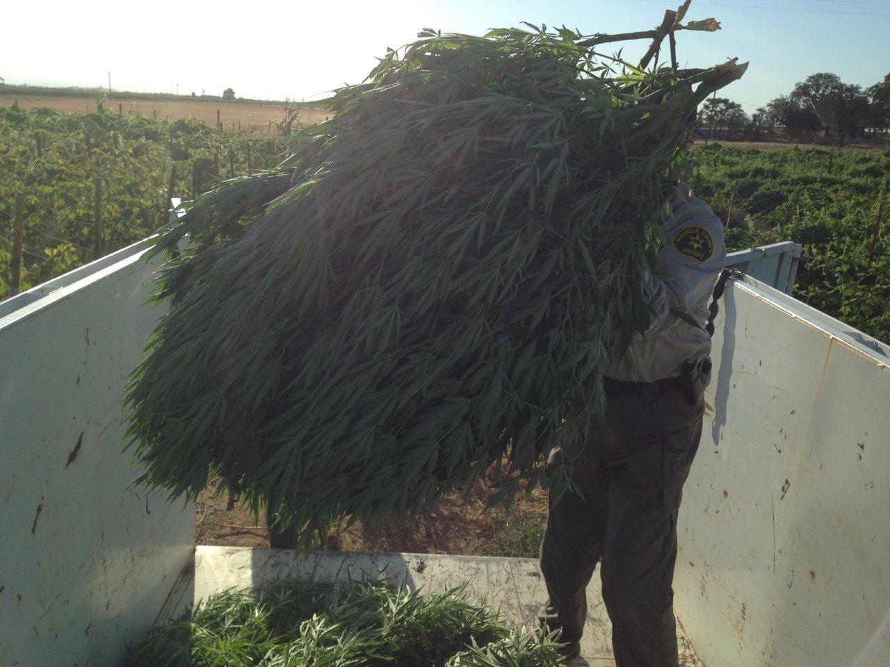 Loading MJ plants off Road 32