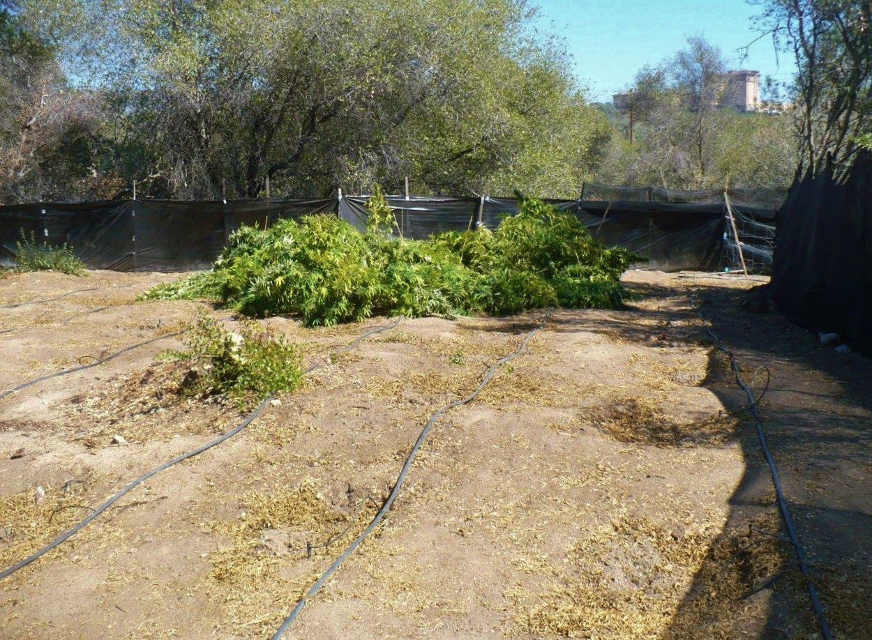 Pot grow off Highway 41 in Coarsegold - photo courtesy MadCo Sheriff