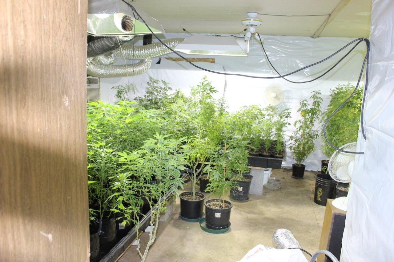 Pot grow at MADNET bust - photo courtesy Madera County Sheriff