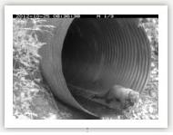 Pacific fisher uses culvert in Yosemite