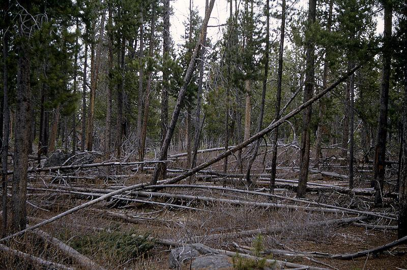 Typical stand of lodgepole pine in Yellowstone - photo National Park Service