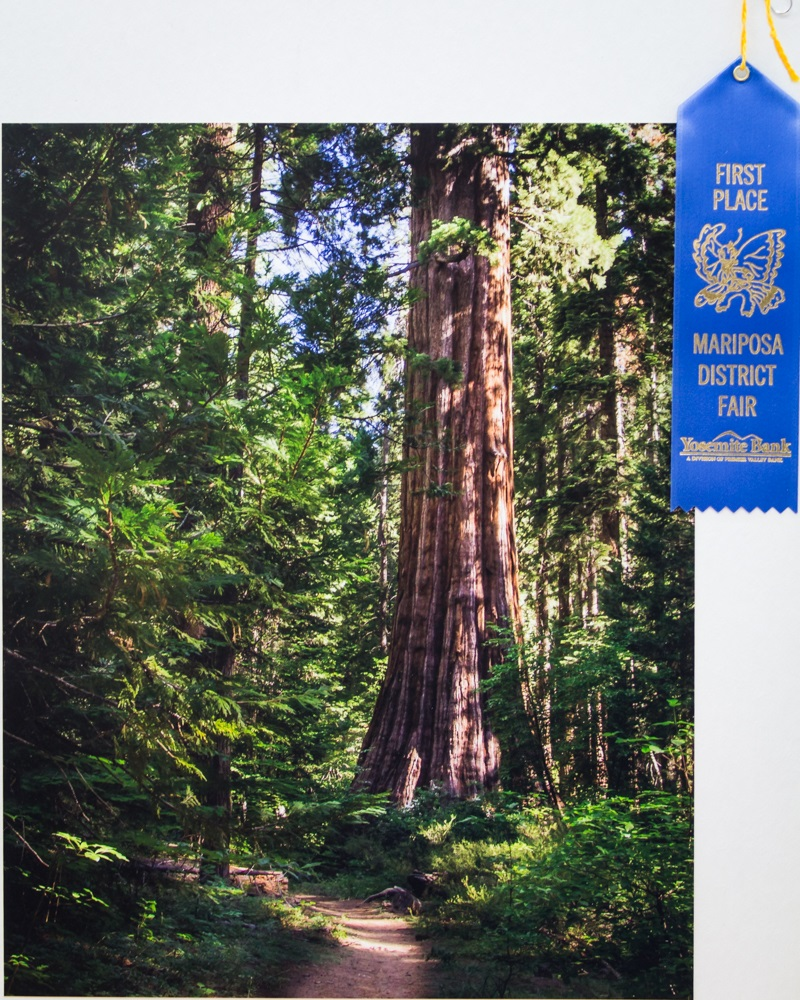 Giant Sequoia at Nelder Grove - photo by Virginia Lazar - 1st Place at Mariposa County Fair