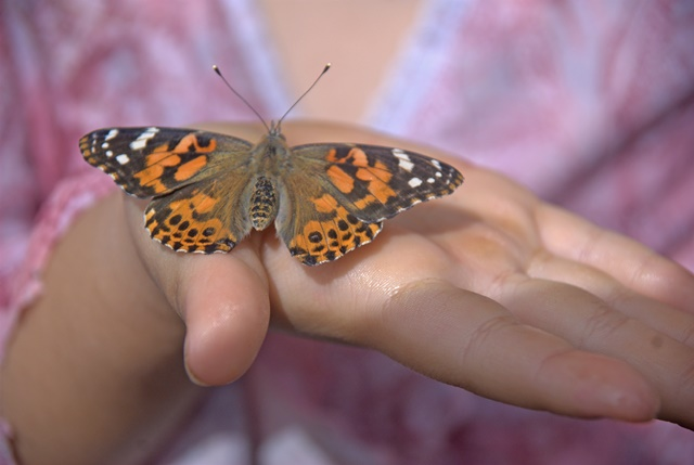 Mariposa Butterfly Festival - CU Butterfly - Photo courtesy of Charles Phillips Stone Creek Gallery Mariposa