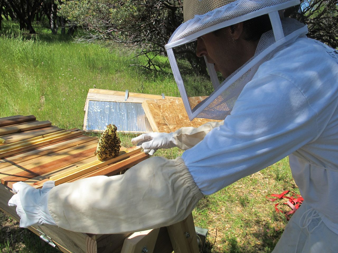 Bees - Doug Mendonca carefully examines the comb in the top bar bee hive - photo courtesy Doug Mendonca