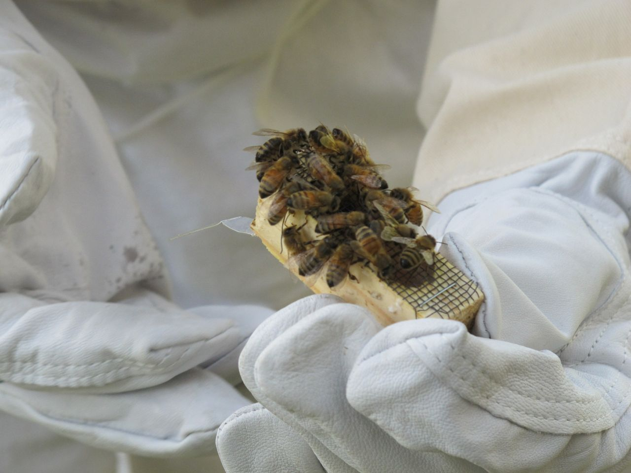 Bees - queen cage with workers clustered around the queen inside before she's released - courtesy Doug Mendonca