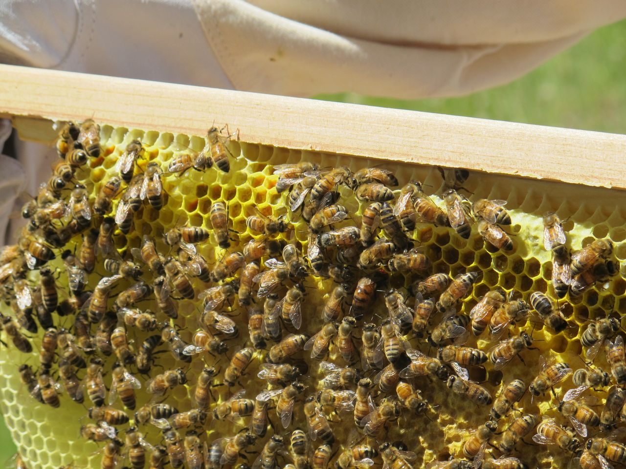 Bees - close shot of bees and queen bee with only abdomen exposed as she dips into comb - courtesy Doug Mendonca