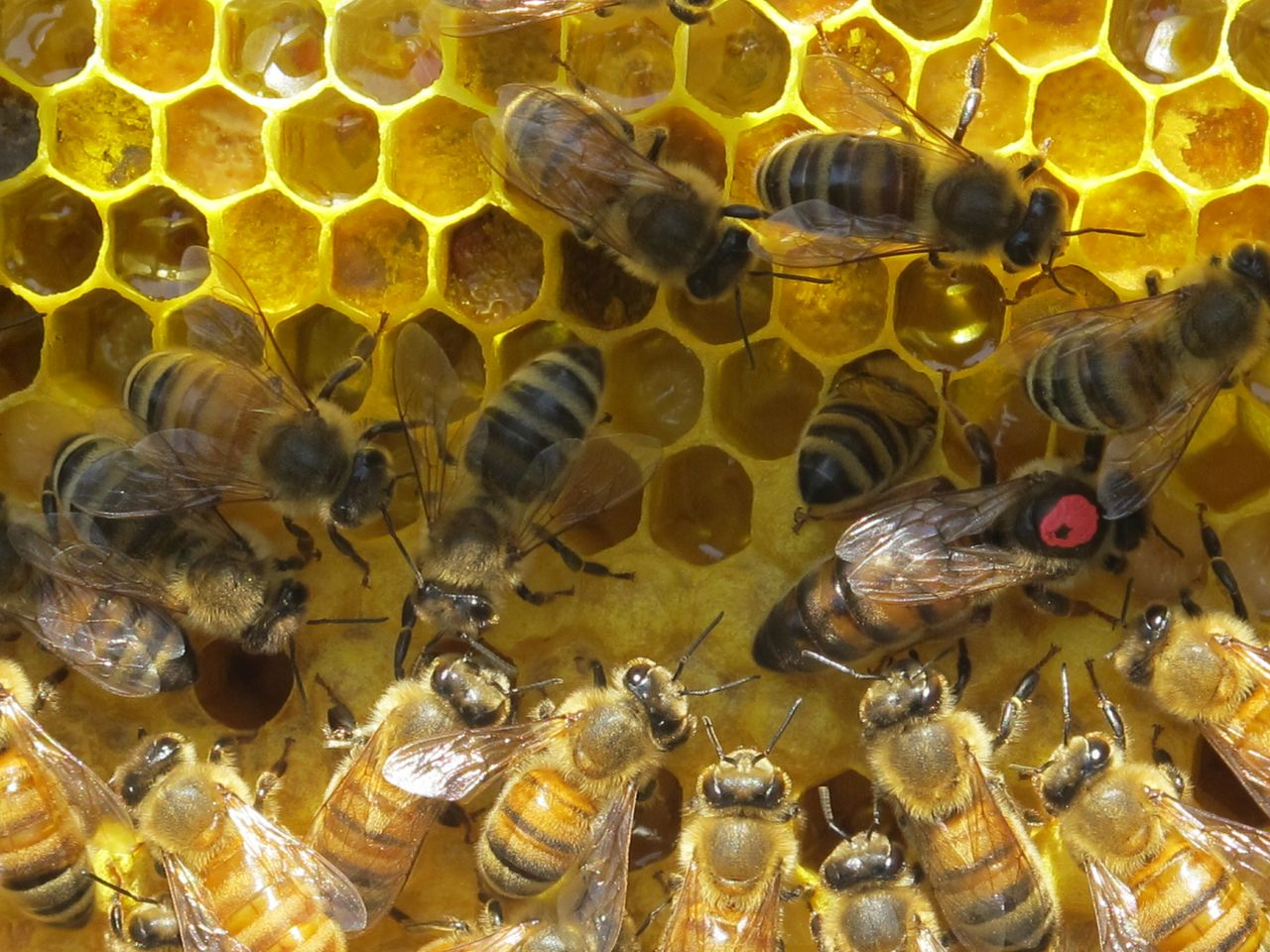 Bees - queen walks over bee bread - the pollen and nectar mix that will be fed to the larvae - photo courtesy Doug Mendonca